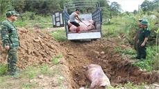 Cục Thú y chính thức thông báo: Dịch tả lợn châu Phi đã vào Việt Nam