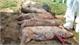Dịch tả lợn châu Phi: Đáng sợ, nguy hiểm, lây nhanh như thế nào?