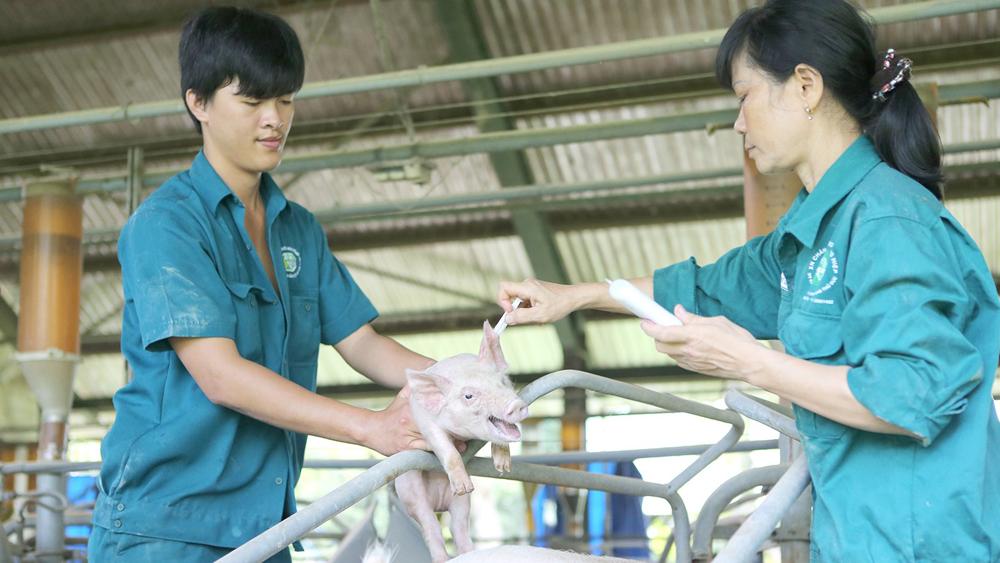 Chủ động kiểm soát và phòng dịch trên đàn lợn
