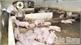 Chăn nuôi sau Tết: Phấp phỏng tái đàn