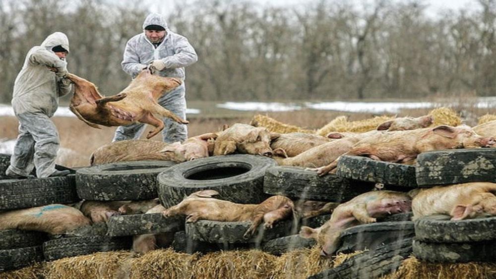 Bộ Y tế, khẳng định, bệnh tả lợn Châu Phi, không gây bệnh trên người