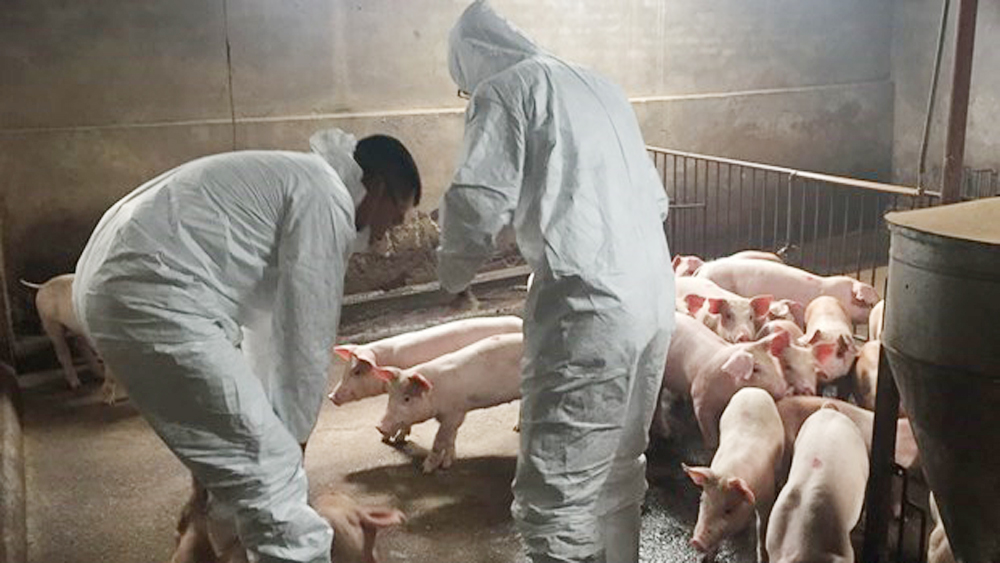 FAO, Vietnam, African swine fever, UN Food and Agriculture Organisation, Thai Binh and Hung Yen, action plan, pork products, fatal animal disease