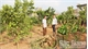 Nhà vườn Lục Ngạn: Thất thu vì cam nhiễm bệnh Greening