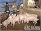 Chủ tịch UBND tỉnh chỉ đạo chủ động phòng, chống dịch tả lợn châu Phi