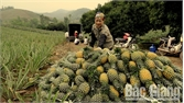 Lục Nam thu gần 200 triệu đồng/ha dứa trái vụ