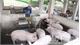Người chăn nuôi có lợn buộc phải tiêu hủy do bệnh dịch tả lợn châu Phi được hỗ trợ tài chính