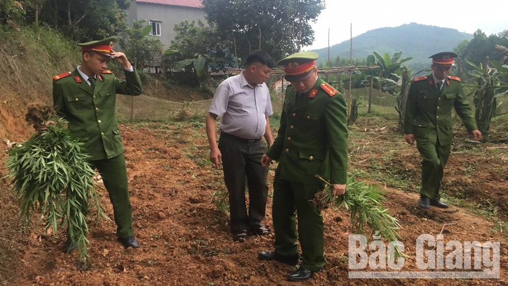 Công an, huyện Sơn Động, phát hiện, đối tượng,  cây cần sa