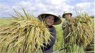 Kỹ thuật tạo giống lúa cao hơn đầu người, năng suất 30 tấn/ha