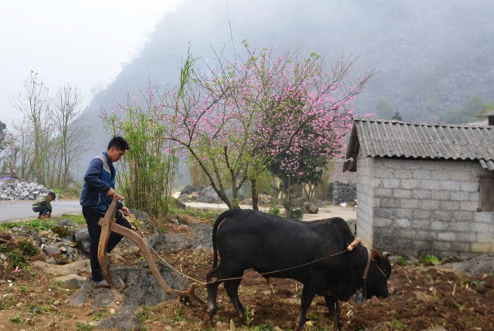 Spring Flowers, Dong Van Plateau, Dong Van Karst Plateau, Ha Giang province, ethnic minority community, beautiful flower seasons