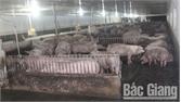 Sơn Động: Lập 4 chốt kiểm dịch động vật ứng phó với dịch tả lợn châu Phi