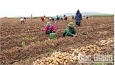Lục Nam trồng khoai tây thu lãi gần 100 triệu/ha