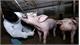Ha Nam strives to fight African swine fever