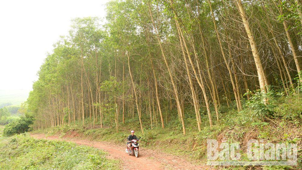 Sơn Động, rừng, trồng rừng, lâm nghiệp, Bắc Giang