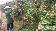 Xây dựng chỉ dẫn địa lý cho vải thiều Lục Ngạn ở Nhật Bản: Đòn bẩy tăng giá trị nông sản