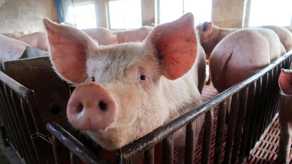 African swine fever a sustained threat to Vietnam's pork industry