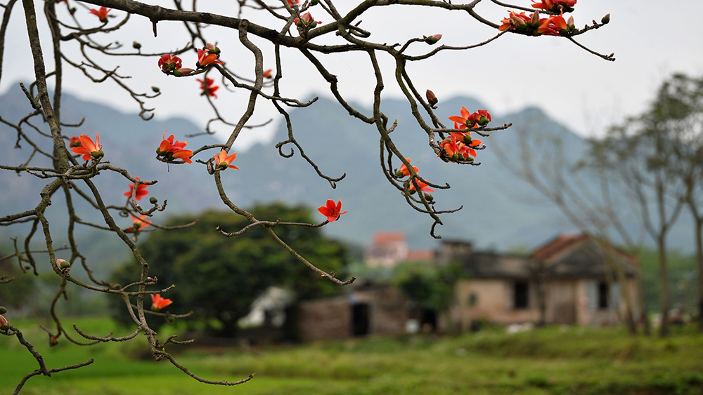 Hanoi's streets dotted with bombax flowers
