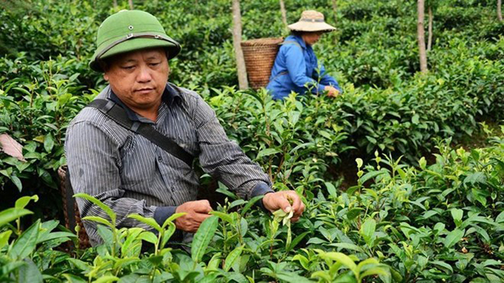 Ethnic farmers, valuable tea, remote mountains, Shan tea, local farmers, cultivation areas, mountainous weather conditions