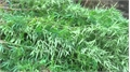 Công an huyện Sơn Động phát hiện đối tượng trồng cần sa trong vườn nhà