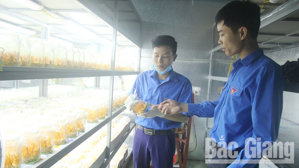 Young man, Bac Giang province, caterpillar fungi, Ong The Dung, caterpillar fungi cultivation, high-tech agricultural production, Vietnamese silkworm