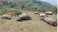 Cả đàn trâu bị sét đánh chết la liệt trong cơn giông