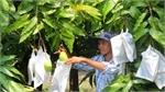 Vietnam's mango exports increase