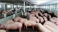 Trung Quốc phân lập thành công chủng vi-rút dịch tả lợn châu Phi ASF