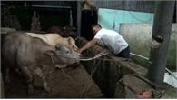 Bắt quả tang một cơ sở giết mổ bơm nước vào bò để tăng trọng lượng