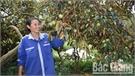 Tân Yên: Cung ứng gần 2,5 nghìn cây vú sữa