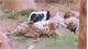 Hổ vằn khổ sở vì liên tục bị lợn con quật ngã