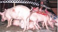 Bùng phát dịch tả lợn châu Phi tại Đông Bắc Campuchia