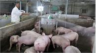Ninh Bình: Huyện Hoa Lư công bố hết dịch tả lợn châu Phi