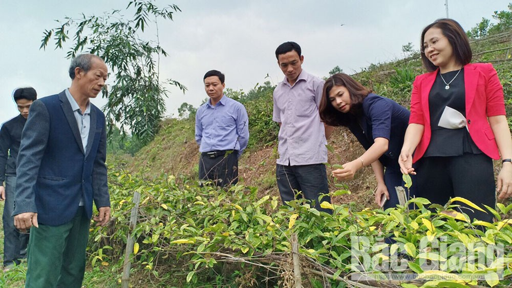 Son Dong district, cultivation area, morinda officinalis, Bac Giang province, key plant, production structure, precious medicinal plant