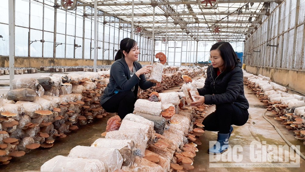 Bac Giang province, hi-tech mushroom production,  main purposes, cooperative model, linkage chain, product production and consumption, mushroom productivity and value