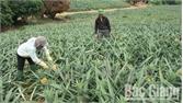 Giá dứa Lục Nam giảm mạnh