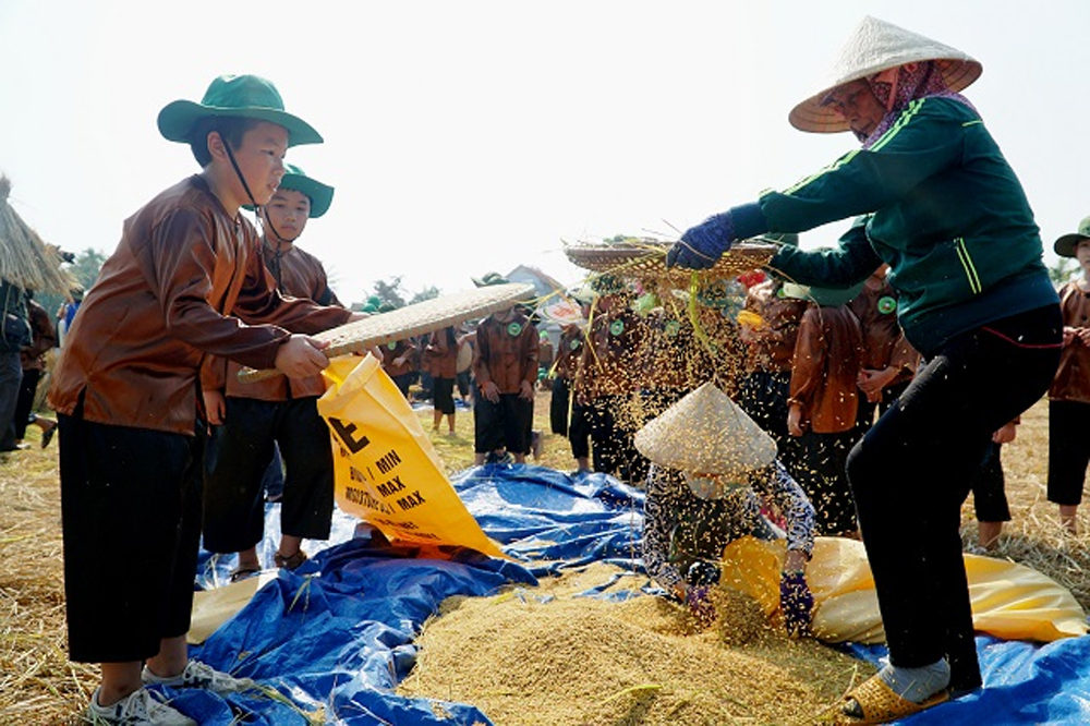 Harvest time, countryside, Quang Ngai province, rural village, bumper harvest, wet rice,  specialties of farmers