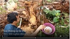 Nông dân chẻ cây cọ bắt nhộng kiếm tiền triệu mỗi ngày
