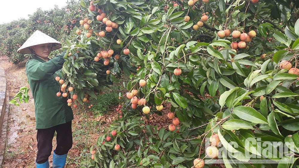 40 hectares of Luc Ngan lychee granted with GlobalGAP certificate