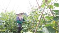 Phát triển hợp tác xã, Liên hiệp hợp tác xã sản xuất theo chuỗi: Nền tảng vững chắc  cho kinh tế tập thể