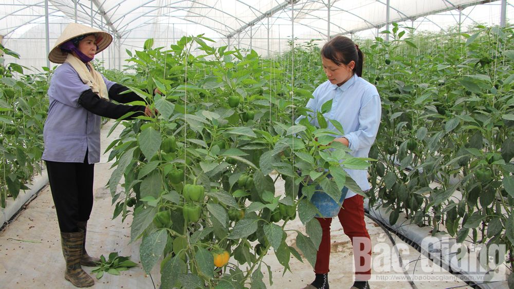60 models of hi-tech farming built in Bac Giang