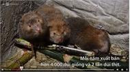 Trang trại nuôi dúi thu 2 tỷ đồng mỗi năm ở Thanh Hóa