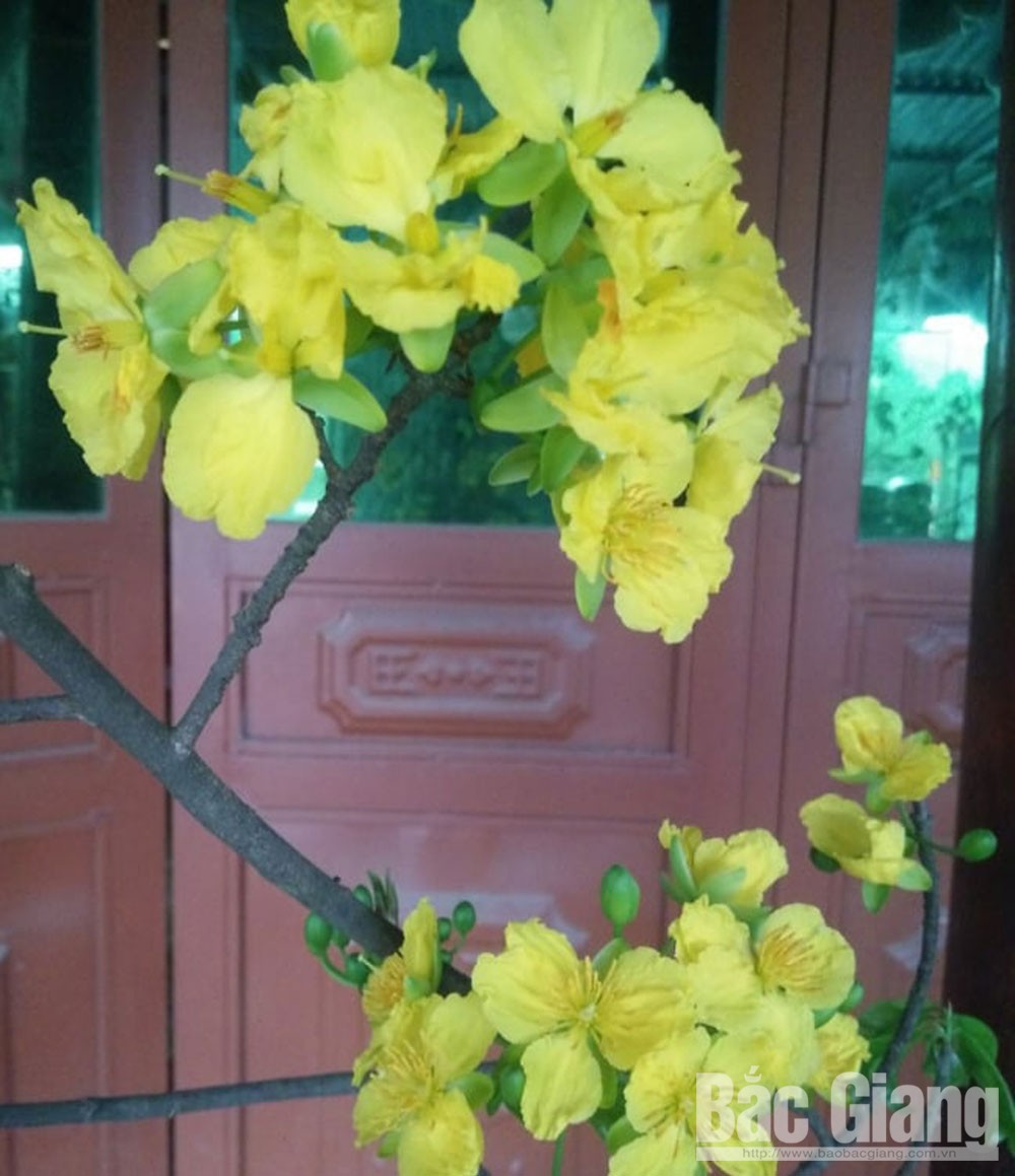 Bac Giang province, Son Dong district, ancient apricot blossom, Yen Tu forest, signature specialities, yellow apricot blossom,  home decoration, bright yellow flowers