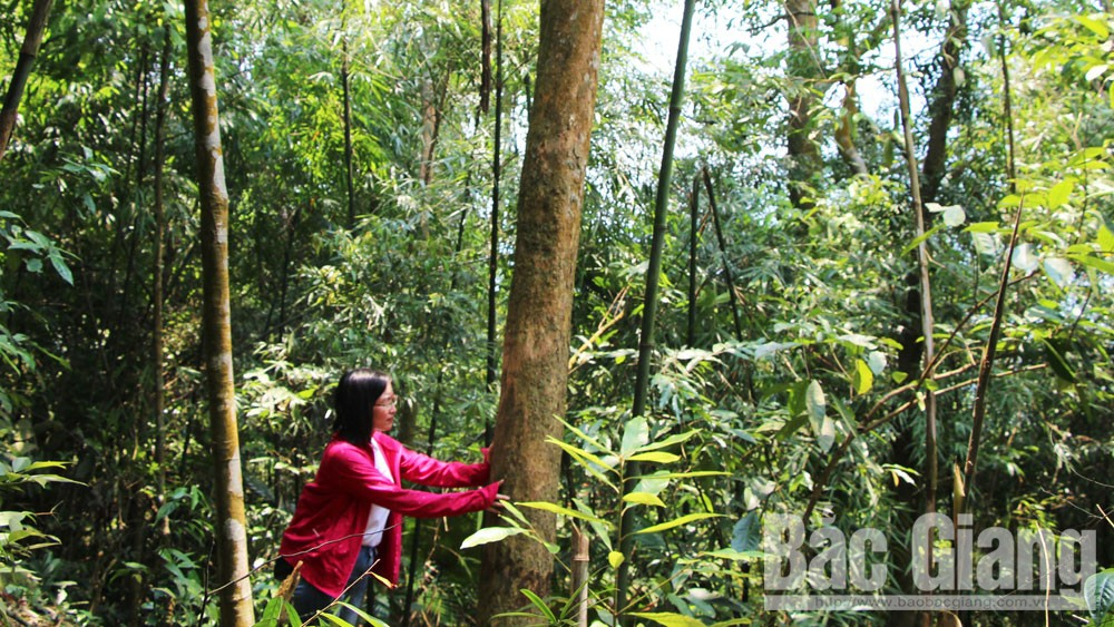 Searching for ancient apricot blossom among Yen Tu forest