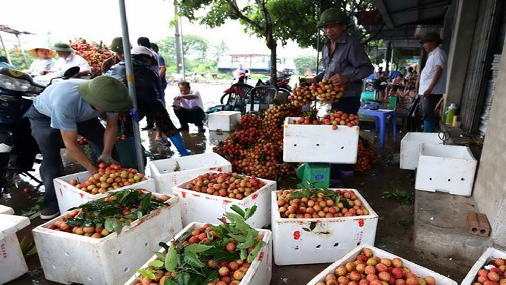 Hai Duong province, litchi, Vietnamese fresh fruits, packaging facilities, VietGAP standards,  Thanh Ha district