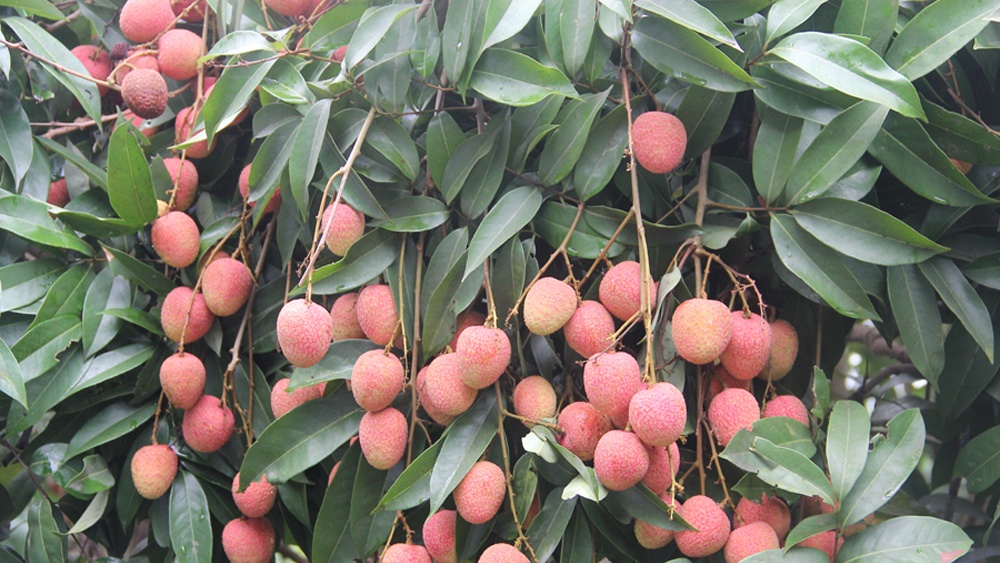Bac Giang province, organic lychee, lychee quality, quality product, high technology, organic fruits, plant protection product, fruits and good development
