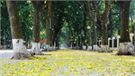 Fallen golden leaves cast spell over Hanoi streets