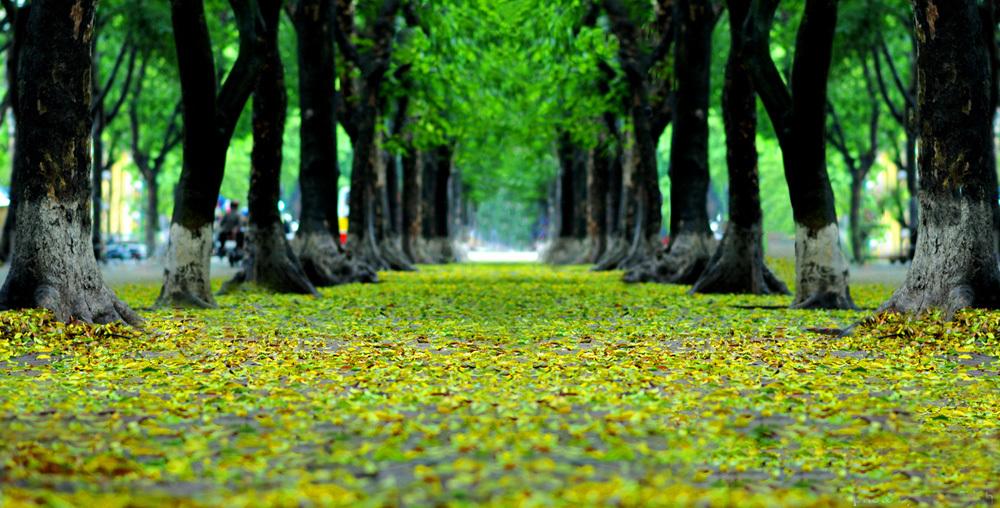 Fallen golden leaves, Hanoi streets, spring to summer, golden hue, beautiful sighseeing