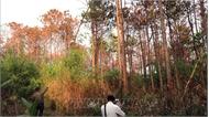 Khẩn trương điều tra vụ hàng ngàn cây thông ở Lâm Đồng bị hạ độc