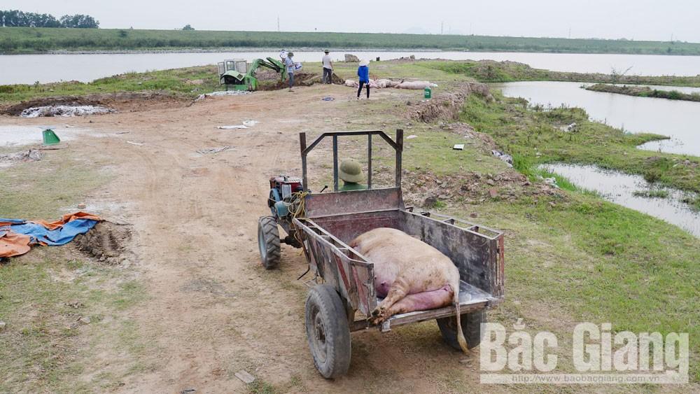 dịch tả lợn châu Phi, phòng, chống dịch bệnh, Bắc Giang, dịch bệnh ở đàn lợn