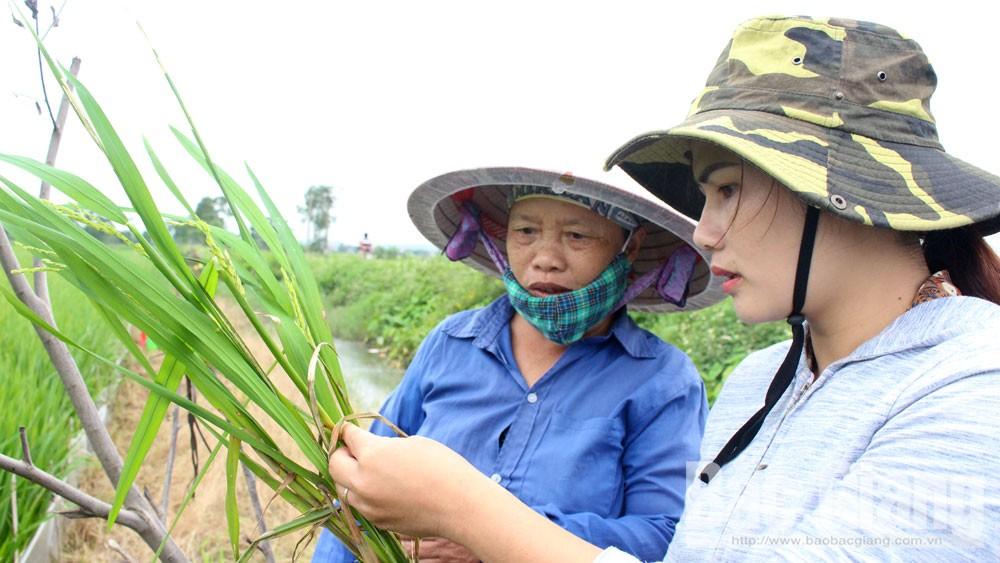 Bệnh khô vằn, đạo ôn cổ bông gây hại mạnh, lây lan nhanh