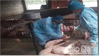 Nhiều địa phương đã thu dọn sạch xác lợn ở kênh mương, nơi công cộng